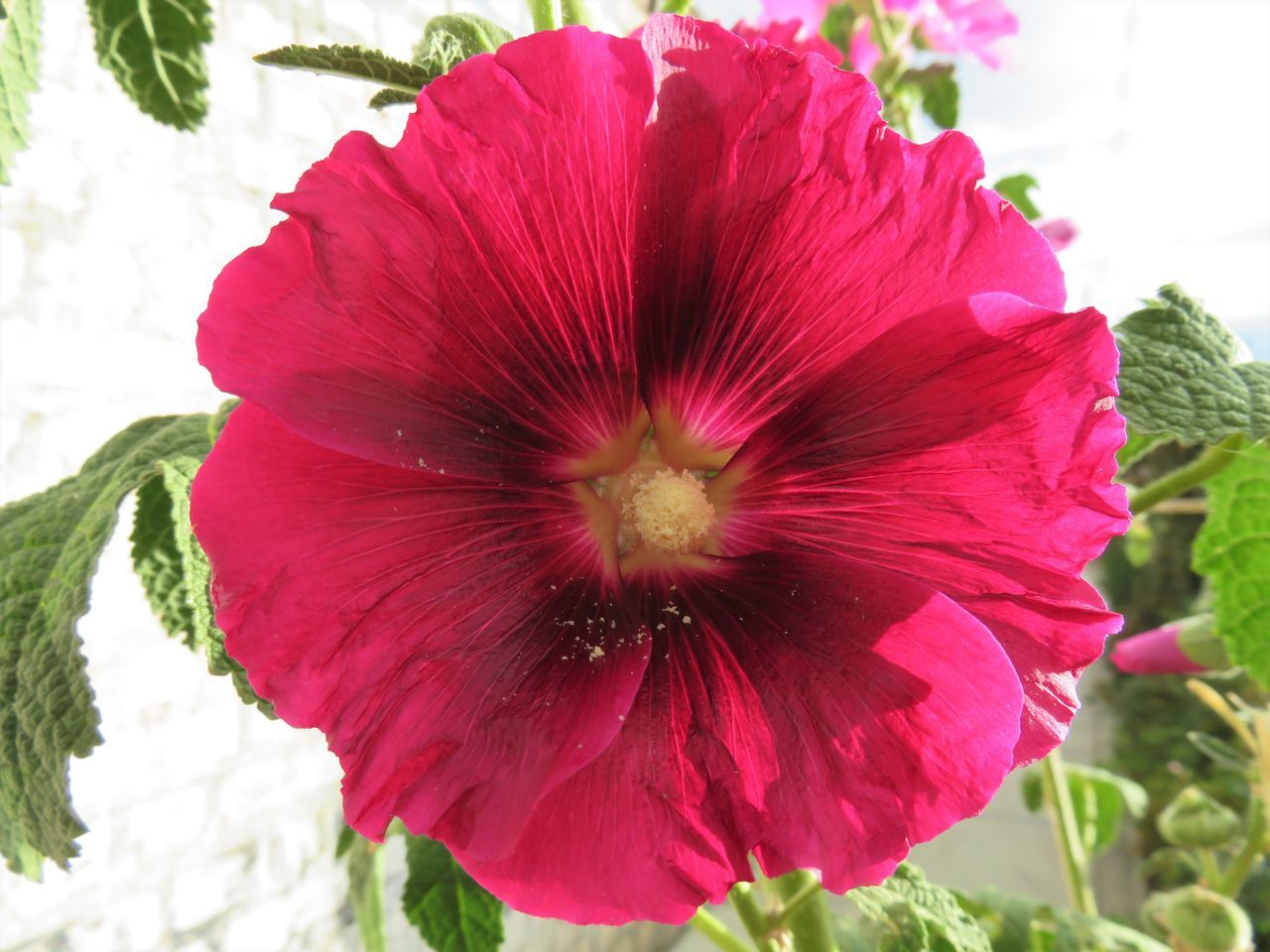 flower, nature, petal, fragility, beauty in nature, flower head, plant, close-up, no people, freshness, growth, outdoors, day, hibiscus, blooming, red, petunia