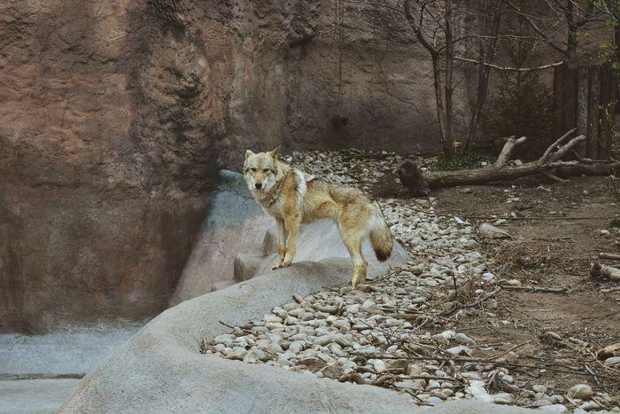 Animal Wild Wolf Perfect Russia Animal Nikon VSCO NikonD5200