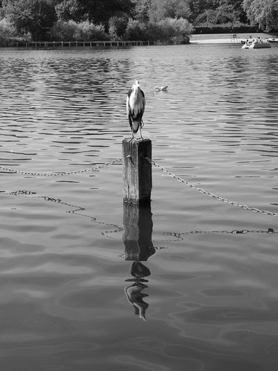 A bird and its reflection on the water Water Reflections Shades Of Grey Sound Of Life Getting Inspired The Best From Holiday POV Walking Around Details Bird Photography Relaxing Enjoying Life