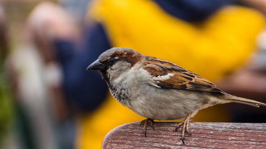 Animal Animal Themes Beauty In Nature Beer Garden Bird Chair Close-up Day Focus On Foreground Nature One Animal Outdoors Sparrow Waiting For Breadcrumbs