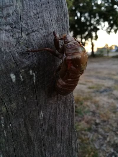 Insect Cicada's
