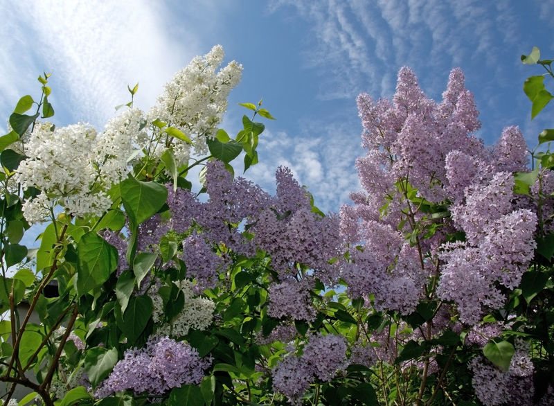Lilacs blossoming on a tree and blue sky, Sweden in May. Lilac Bush Beauty In Nature Blooming Close-up Day Flower Flower Head Fragility Freshness Growth Leaf Lilac Flowers Lilacs Nature No People Outdoors Plant Sky Tree