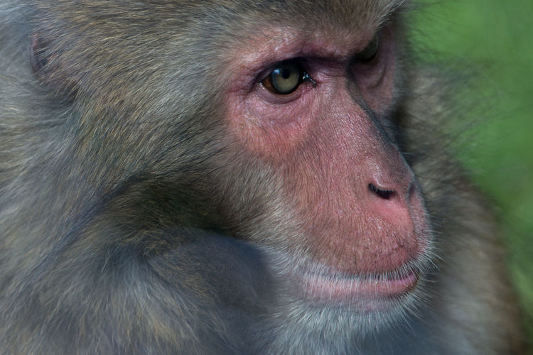 Close-Up Of Macaque
