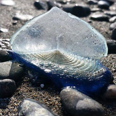 Jelly Fish Velella Oregon Coast By The Wind Sailor