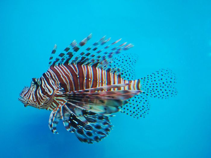 Swimming lionfish on the blue background