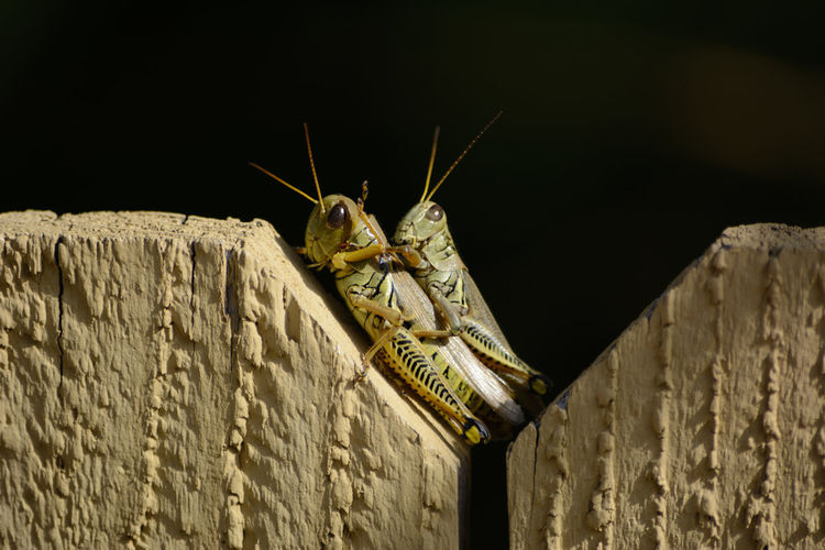 Close-up of grasshoppers