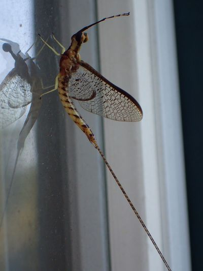 One Animal Animal Themes Animals In The Wild Insect No People Close-up Animal Wildlife Day Focus On Foreground Nature Outdoors Macro Mayfly