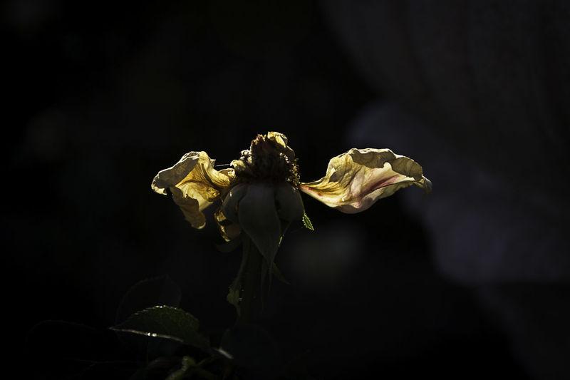 Dead Flower Beauty In Nature Bokeh Close-up Flower Flower Head Fragility Garden No People Outdoors Petal Plant Rose - Flower