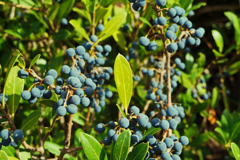 Close-up of blueberries growing on tree