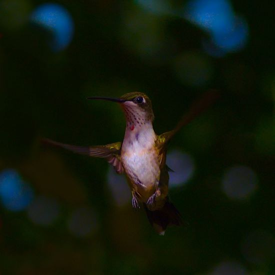 Dancing in the sky. Bird Photography Humming Bird Animal Animal Body Part Animal Themes Animal Wildlife Animals In The Wild Bird Birds Close-up Day Focus On Foreground Hummingbird Marine Motion Nature No People One Animal Outdoors Sea Underwater Vertebrate Water