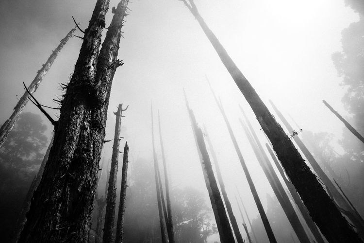 tree memories series Beauty In Nature Blackandwhite Day Forest Photography Low Angle View Misty Misty Mornings Nature No People Outdoors Peace And Quiet Sky Tranquility Tree Tree Trunk