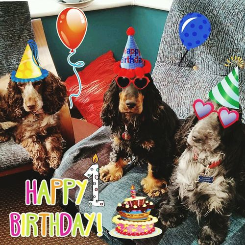 Birthday Spaniels Siblings Having Fun Bed SiblingsLove❤ First Eyeem Photo Spanielsofinstagram Dogprints Day Cockerspaniel Spaniels Cuddles Pets Close-up Animal Themes Domestic Animals Dogphotographer Dog Portrait Birthday Birthday Cake Birthdaycake