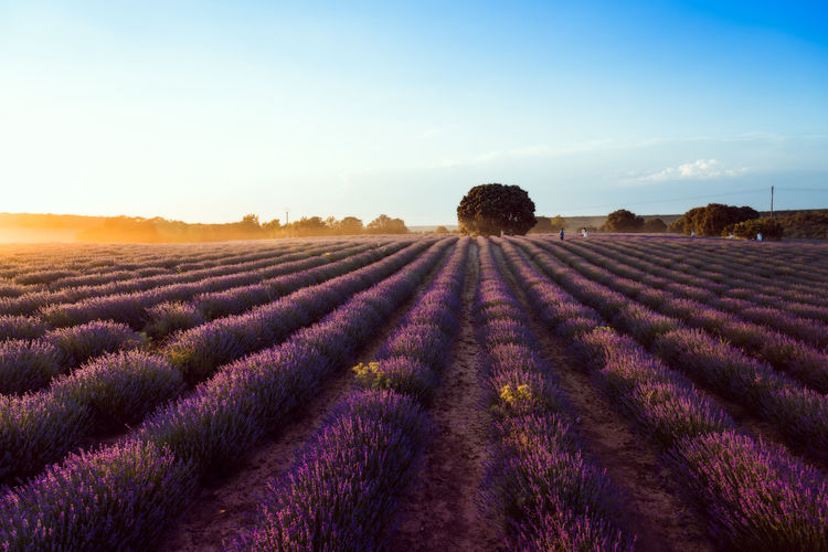View of lavender field against sky during sunset