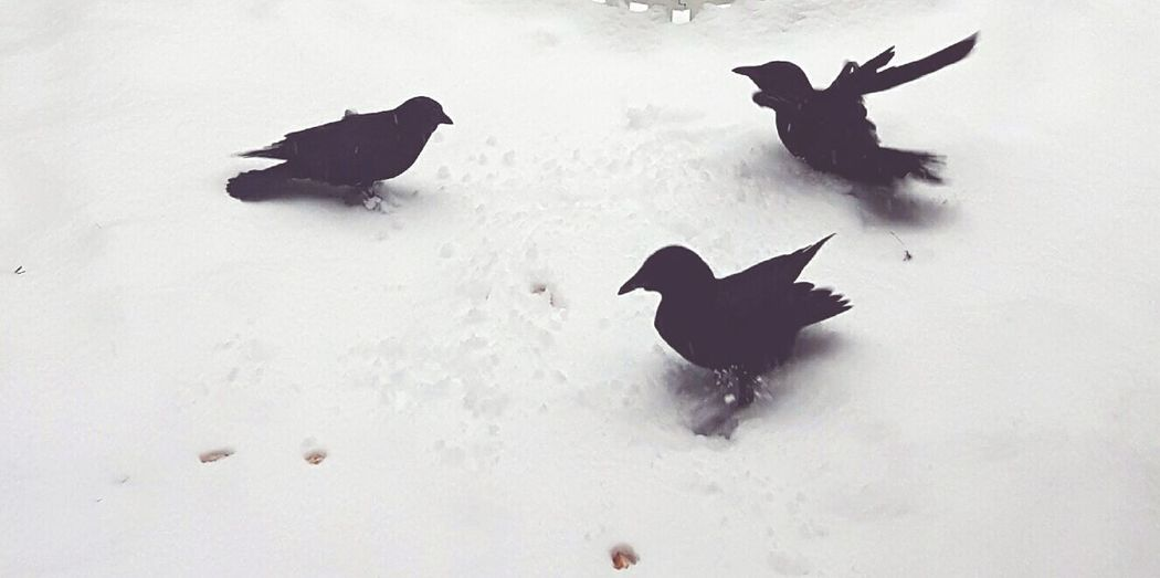 Crows Snow ❄ Snowing Check This Out 😊 Group Of Animals Animal Photography Blackandwhite