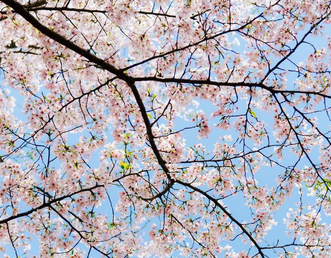 The most beautiful cherry blossoms Adults Only Tree Nature Growth Branch Springtime Low Angle View Beauty In Nature Blossom Fragility Flower