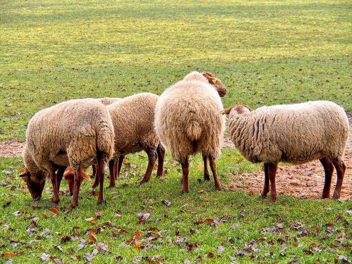 Schafe Sheep