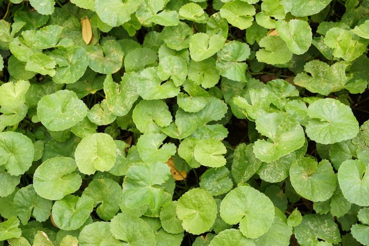 fresh green Centella asiatica plant in nature garden Agriculture Asiatic Pennywort Green Color Herb Plant Beauty In Nature Centella Asiatica Close-up Evergreen Foliage Fragility Fresh Freshness Gotu Kola Green Color Growth Healthy Herbal Houseplant Leaf Leaves Lush Foliage Outdoors