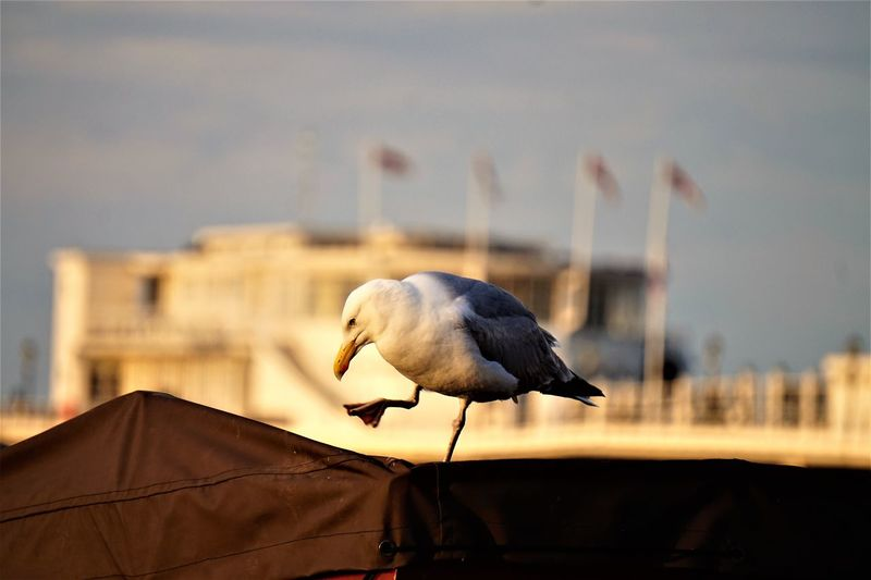 Close-up of seagull perching on a city