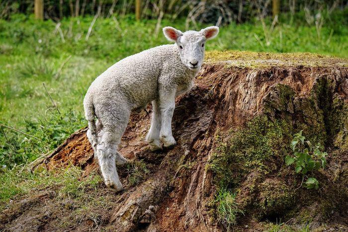Lamb Climbing Frolicking Sheep Eye4photography  Stump EyeEm Nature Lover EyeEm Gallery Popular Photos Cute Animals Country Life Farm Life Farm Animals Animal Photography Nature On Your Doorstep Nature Photography Countryside