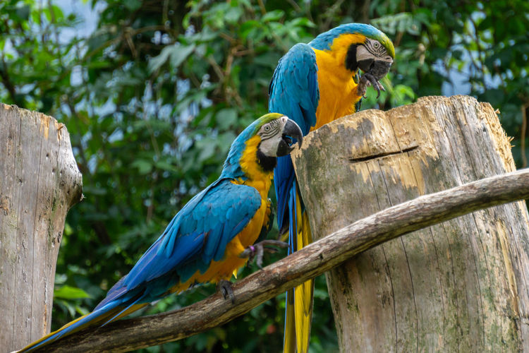 EyeEm Nature Lover Tyrol-Austria Animal Animal Themes Animal Wildlife Animals In The Wild Bird Blue Branch Focus On Foreground Gold And Blue Macaw Macaw Nature No People Outdoors Papagei Parrot Parrots Perching Two Parrots Vertebrate Wood - Material