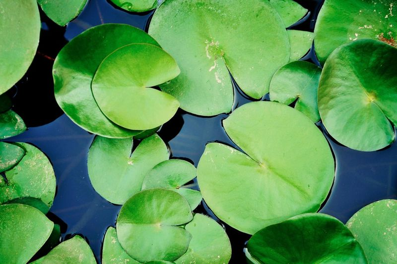 Green Color Leaf Nature Growth Water Lily Plant Water Floating On Water Freshness Lily Pad Fragility Beauty In Nature Lotus No People Close-up Outdoors Day Rural Poetry