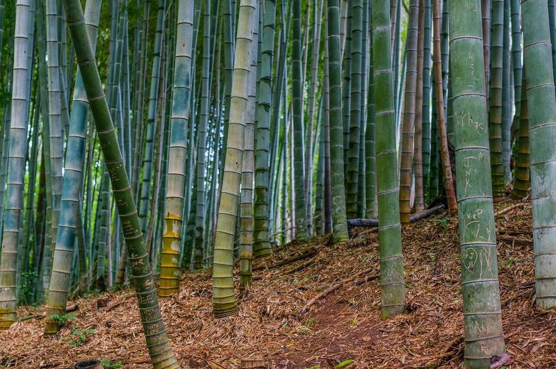 Bamboo Forest Green Green Color Outdoors Nature Color