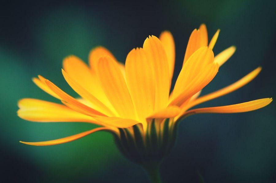 pot marigold. herbal plant. Herbal Plant Marigold