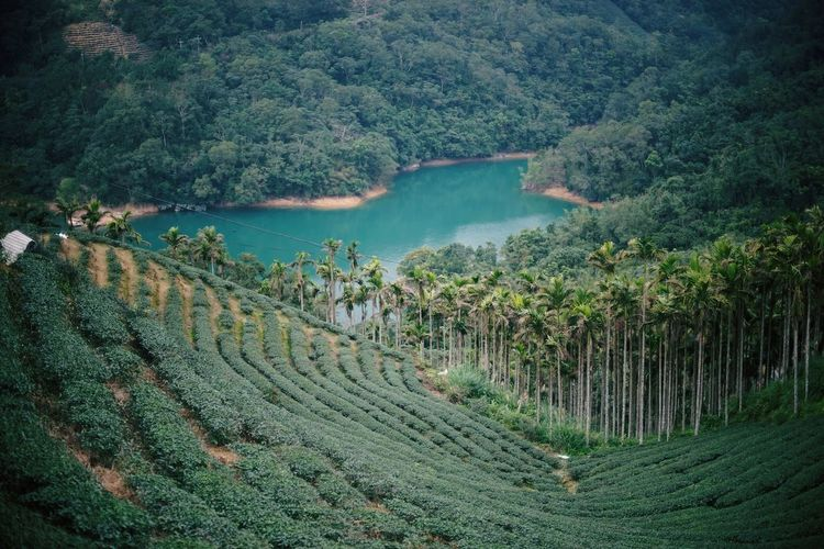 Nature Agriculture Beauty In Nature Plant Rural Scene Tranquil Scene Landscape Mountain Lush - Description Miles Away Lake View Taiwan Mountain Peak Mountain Range Teaplantations The Secret Spaces Neighborhood Map The Great Outdoors - 2017 EyeEm Awards