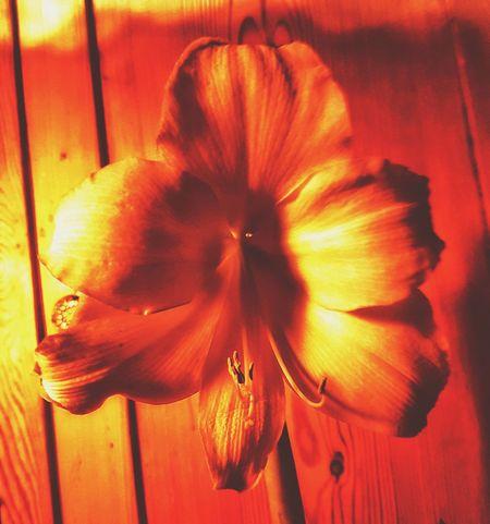 amaryllis Orange Color Orange Light Amaryllis Amaryllis In Bloom Amaryllis Flower Flower Yellow Tones Burnt Burned Petal_perfection Close-up No People Indoors  Yellow Flower Head Petal Fragility Blooming Plant