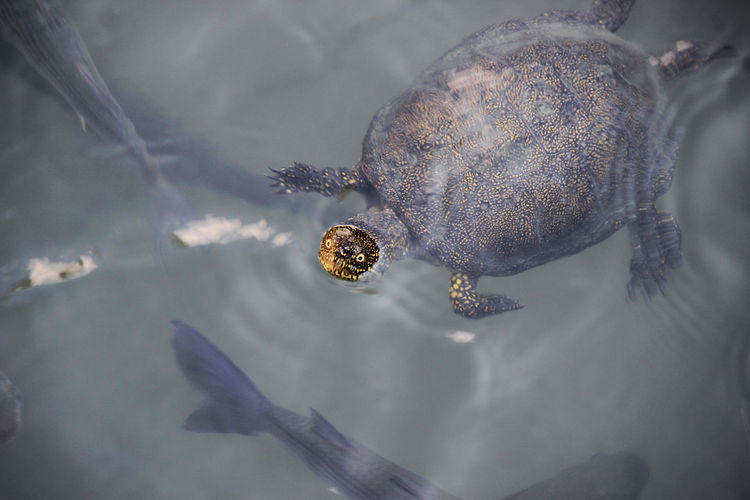 High angle view of turtle and fish swimming in lake
