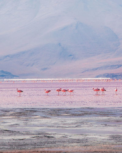 It's amazing to see the flamingos in their natural, unreal habitat. The lake is really shallow and they can get the shrimps out of there. Animals In The Wild Flamingo Salt Tranquility Travel Uyuni Adventure Animal Themes Bird Cloud - Sky Group Of Animals Laguna Colorada Lake Landscape Large Group Of Animals Mountain Mountain Range No People Outdoors Pink Color Salt Flat Scenics Travel Destinations Water Wildlife
