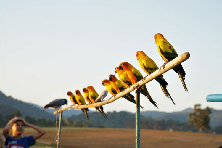 Row of sun parakeets perching on bamboo against sky