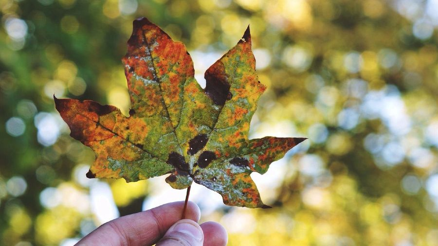 Cropped Image Of Person Holding Maple Leaf