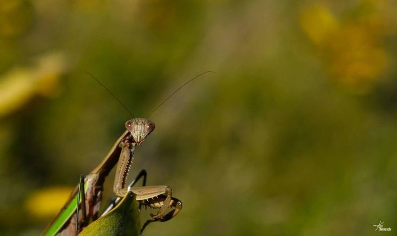 Chinese praying mantis Nature Bug EyeEm Best Shots Port Rowan