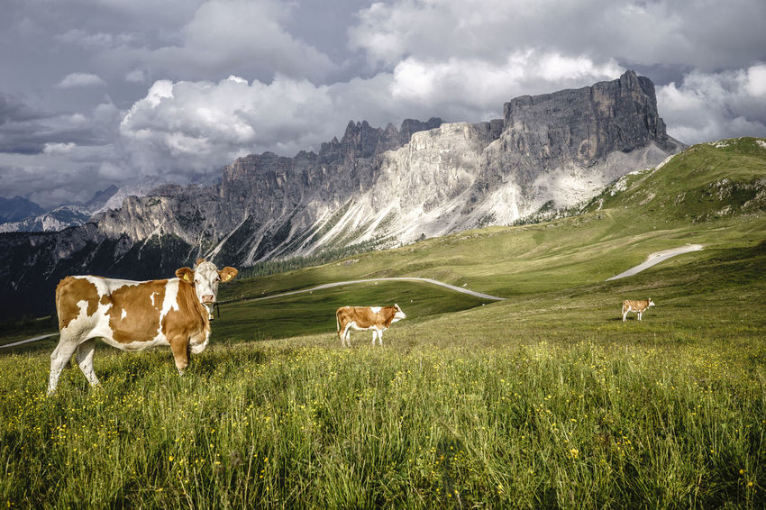 Farm Animal Alps Italy Passo Giau Dolomites San Vito Di Cadore Mountain Peak Travel Destinations Valley Animals Tranquility Sky Outdoors No People Nature Mountain Range Mountain Mammal Livestock Landscape Grazing Grass Field Day Cow Lost In The Landscape