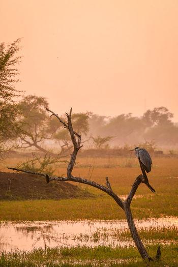 grey heron or