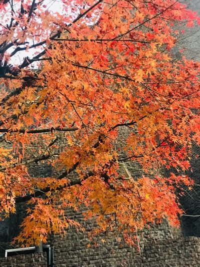 Low angle view of maple tree against orange sky