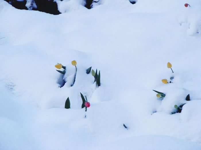 Swans on snow covered landscape