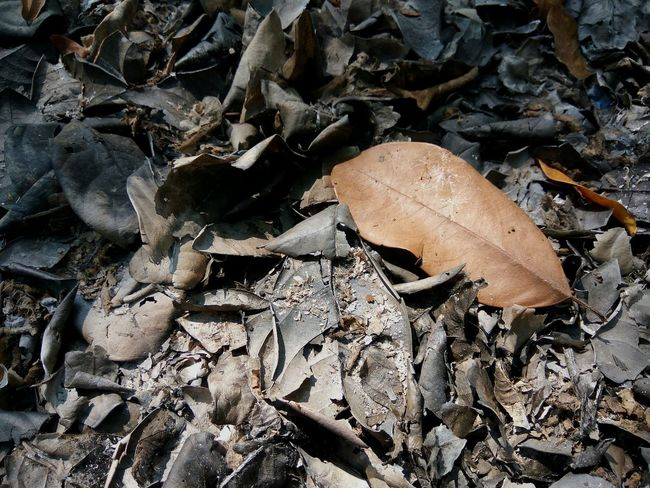 Leaf Dry Dead Nature Burning Scorched Outdoor Nature No People Tree Weather Environmental Issues Environmental Damage High Angle View Close-up Dead Plant Dried Maple Leaf Wilted Fallen Leaf Fallen Fall Slug Leaves Dead Tree Decline Deforestation Dried Plant