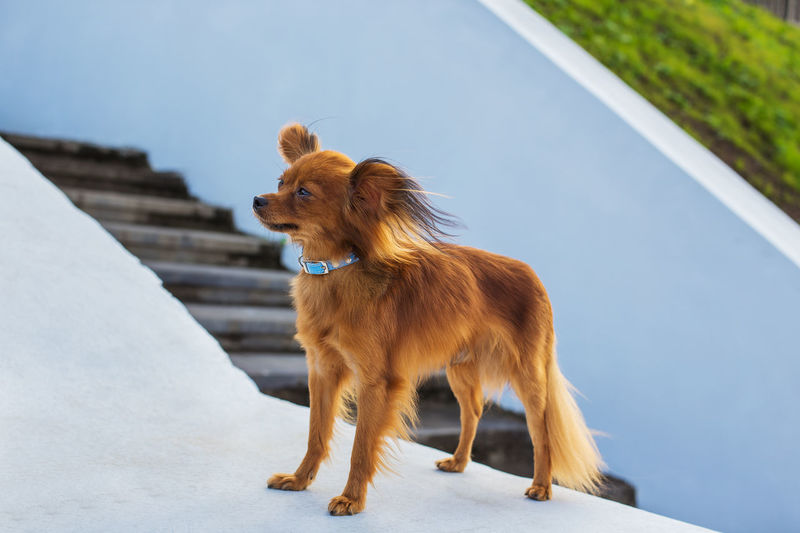 High angle view of dog looking away on retaining wall
