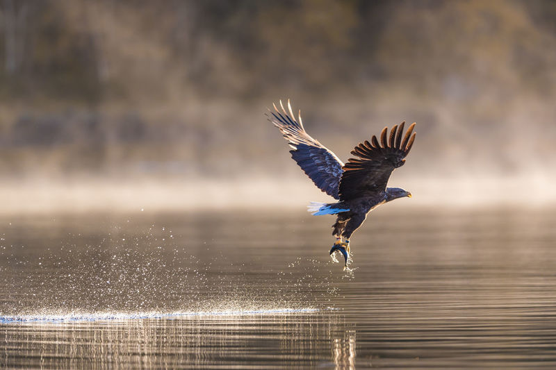 One Animal Bird Animal Themes Flying Animal Spread Wings Animals In The Wild Vertebrate Animal Wildlife Water Motion Mid-air Waterfront Lake Day No People Nature Focus On Foreground Reflection Eagle