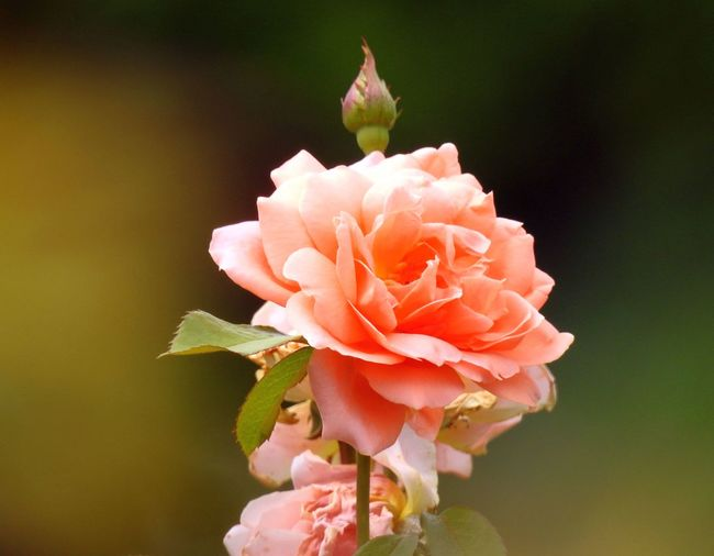 Close-Up Of Peach Rose Blooming Outdoors