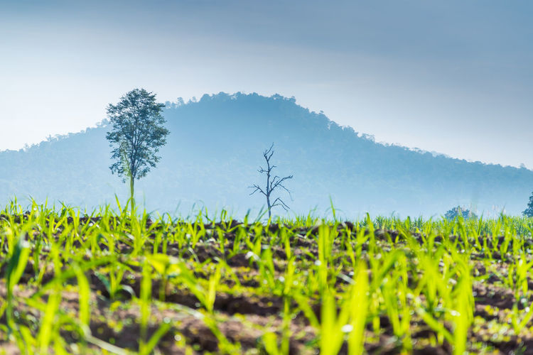 Low angle view of sugarcane park in the morning. Agriculture Sapling Sugar Cane Plantation Tree Agriculture Beauty In Nature Crop  Day Environment Field Green Color Growth Landscape Mountain Nature Outdoors Plant Plantation Rural Scene Scenics - Nature Sky Sustainable Resources Tranquil Scene Tranquility Tree