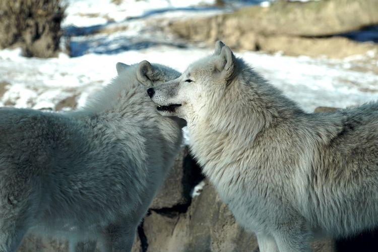 Wolf White Zoo Zoo Berlin Animals Alertness Open Edit Tadaa Community AMPt_community Eye4photography  Close-up EyeEm Masterclass Showcase: February