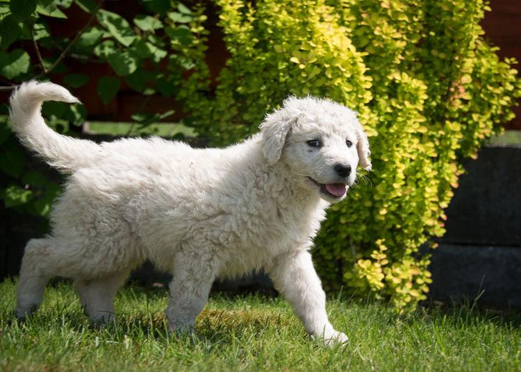 Kuvasz puppy Animal Dog Dog, Animal, Kuvasz, Puppy Kuvasz Puppy White Young Young Adult