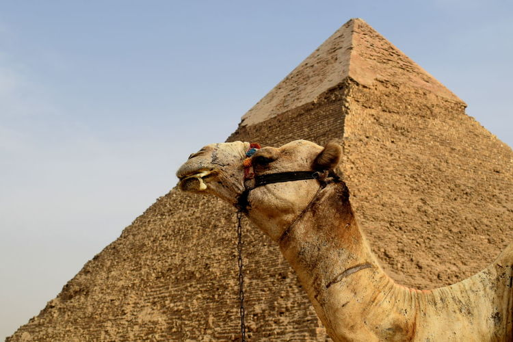 Low angle view of camel against pyramid
