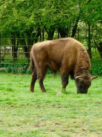 Bison Whipsnade Zoo Grass Field Grazing Animal Themes One Animal Nature No People Mammal Outdoors Tree Domestic Animals Day