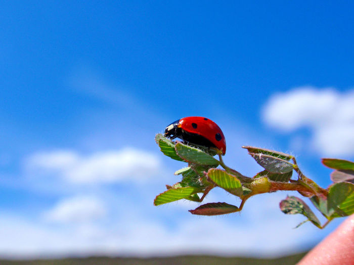 Animal Themes Animals Animals In The Wild Animals In The Wild Close-up Coccinella Septempunctata Day Environment Insect Insects  Ladybird Ladybug Ladybugs Low Angle View Nature Nature No People One Animal Outdoors Perching Red Seven Spot Ladybird Sevenspot Ladybug Sky
