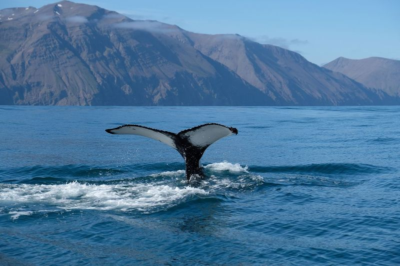 Been There. Mountain Animals In The Wild One Animal Whale Sea Nature Humpback Whale Animal Wildlife Mammal Outdoors Animal Themes Mountain Range Water Beauty In Nature No People Day Sea Life Scenics Aquatic Mammal Sky Iceland Husavik Husavik Bay