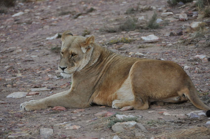 Animal Themes Animals In The Wild Aquila Game Reserve Day Lion Lion - Feline Lion Cub Lion Female Mammal Nature No People Outdoors Relaxation Togetherness